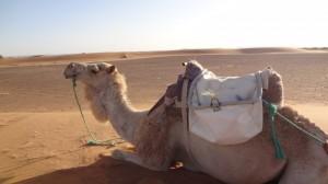 tag4 wir haben ein weißes kamel