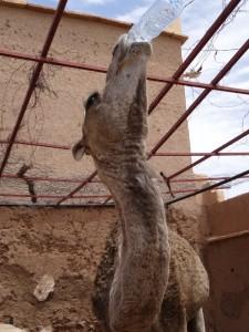 tag7 aus der flasche trinkendes kamel