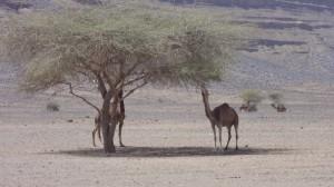 tag7 wilde kamele