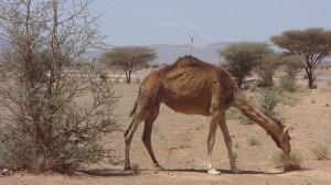 tag7 wildes kamel