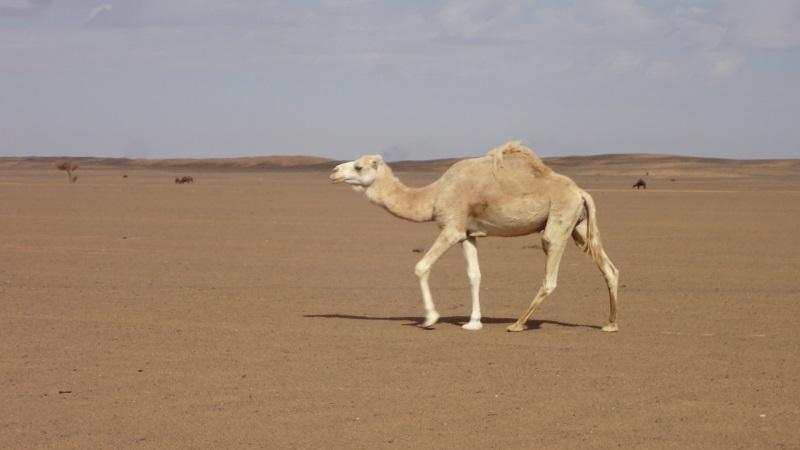 Ich liebe weiße Dromedare und hier lief uns eines einfach über den Weg in der Steinwüste bei Merzouga