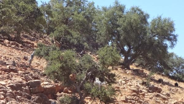 Arganbäume und die Ziegen darin