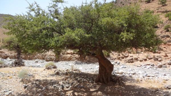 mächtiger Arganbaum im Antiatlas